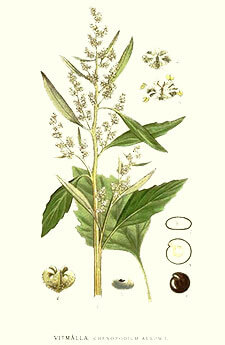 Chenopodium álbum